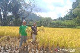 Maksimalisasi ketahanan pangan, Mahasiswa Polbangtan Medan bantu petani Toba Samosir panen padi