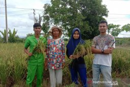 Mahasiswa Polbangtan Medan dampingi petani Paluta panen padi