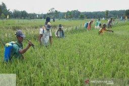 Hama WBC serang tanaman padi di delapan daerah di Sumut