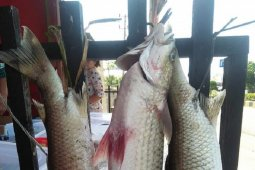 Ribuan anak ikan mikih di Mukomuko mati