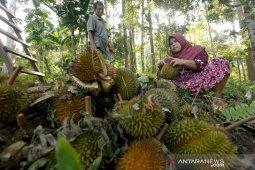 Panen Durian Sampoiniet