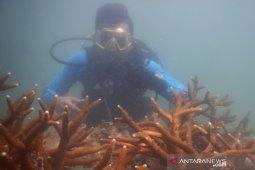 PT Timah tanam 995 karang pulihkan ekosistem laut Bangka