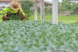 Pembibitan tanaman sayur di Karawang