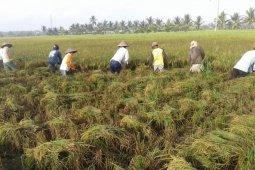 Pemprov Kalbar gencarkan penanaman padi Inpari IR Nutri Zinc