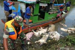 Kematian 878 babi di Palembang positif demam afrika