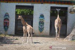Bayi jerapah Maharani Zoo