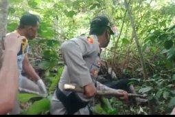 Hilang dua hari saat berburu, pria warga Suku Anak Dalam meninggal dunia dililit ular piton (video)