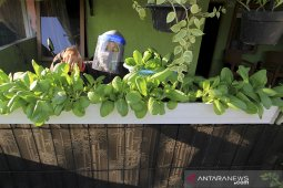 Menanam sayur sendiri di masa Pandemi