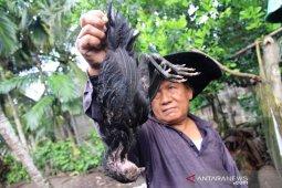 Wabah jangkiti ternak ayam di Aceh Barat