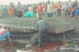 Hiu paus mati terdampar di Pantai Paseban Jember