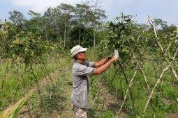 Petani kacang panjang Muarojambi keluhkan harga jual murah