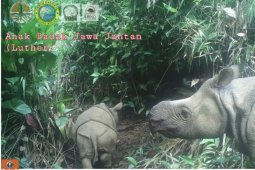 Sepasang badak jawa lahir di Taman Nasional Ujung Kulon