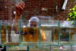 Budi daya Ikan Cupang