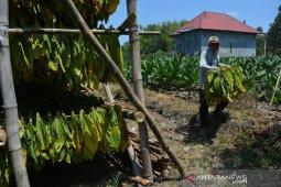 Harga tembakau di Jombang anjlok