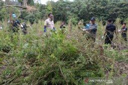 Pemusnahan tanaman ganja di Gunung Seulawah