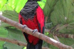 Lindungi burung nuri kabare Papua dari kepunahan dengan konservasi