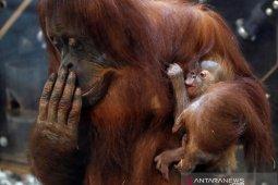 Kejutan menggembirakan, orangutan lahir di KB New Orleans