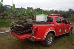 Two wild tiger traps installed in West Sumatra's Tigo Balai village