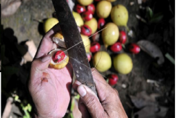 On the scent of the Dutch nutmeg on Banda Islands