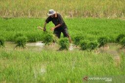 Wabup Aceh Utara usul lahan gambut untuk pengembangan pertanian thumbnail