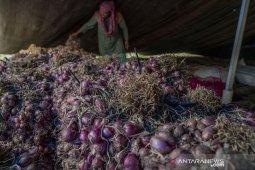 Diserang Hama, Panen Bawang Merah di Desa Langaleso Dipercepat