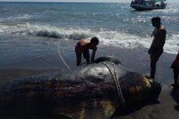 Aparat menenggelamkan bangkai paus pilot di pantai Lombok Utara