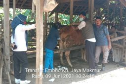 Dinas Pertanian Tulang Bawang kembangkan sapi melalui transfer embrio