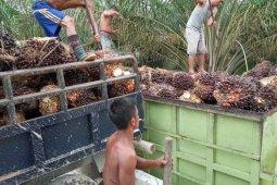 Minyak mentah turun, TBS di Abdya Rp1.300 per kilogram thumbnail