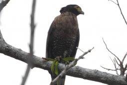 KOMIU temukan 27 spesies burung endemik Sulawesi di alam liar