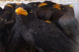 Balai Karantina Pertanian gagalkan penyelundupan ribuan burung di Pelabuhan Bakauheni