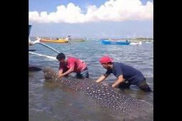 Heboh, Ikan hiu seberat 1,5 ton tertangkap nelayan Lungkak Lombok Timur