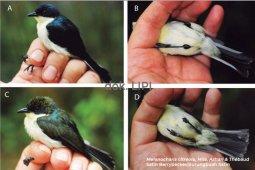LIPI temukan jenis baru Burungbuah di pegunungan Papua Barat