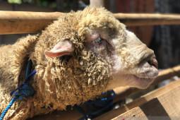 Yogyakarta tetap memantau penjualan hewan kurban saat PPKM Darurat