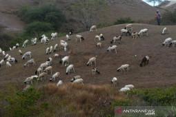 Pemprov Sulteng  optimalkan padang penggembalaan ternak