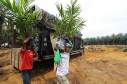 Program Peremajaan Sawit Di Aceh Jangan Gunakan Bibit Asal-Asalan thumbnail