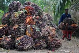 Gapki Sarankan Petani Sawit Non Swadaya Aceh Gunakan Bibit Bersertifikat thumbnail