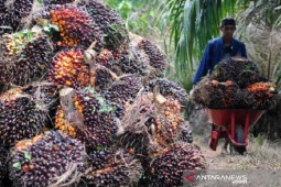 Harga CPO naik tipis menjadi Rp12.019 per kilogram
