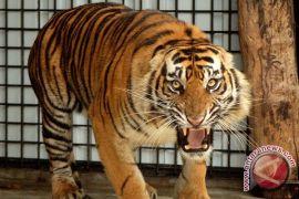 Harimau Sumatra berkeliaran di Kepahiang