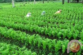 Petani sayur di Kepahiang optimalkan pupuk organik