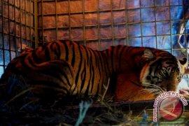 BKSDA amankan harimau mati di Seluma