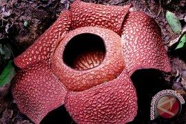 Rafflesia gadutensis mekar di kawasan wisata Kemumu