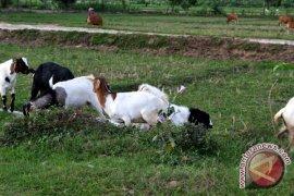 Bantuan ternak sapi ke pesantren dilakukan bertahap