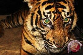 BKSDA periksa harimau mati