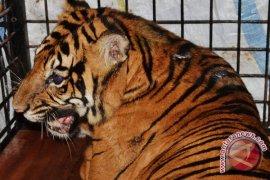 Harimau Bengkulu dipindahkan ke Taman Safari