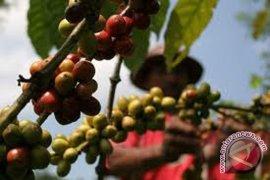 """Petani Kepahiang kembangkan kopi """"Aroba"""""""