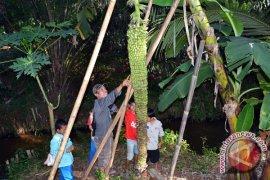 Dosen pertanian Unib teliti pisang berbuah dua meter