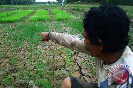 Tanaman padi petani Bengkulu gagal tumbuh