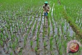 90 persen sawah baru Mukomuko ditanami padi