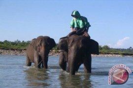 Pengunjung Nikmati Habitat Gajah Di Bengkulu