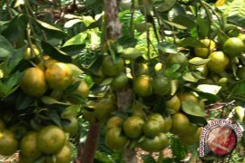 3.500 bibit jeruk kalamansi dibagikan secara gratis